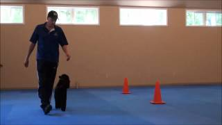 Maks (Poodle) Obedience Training Video