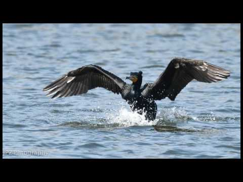 Eyes of cormorants in action, Sigma 500mm f4.5 APO EX HSM with Nikon D800E