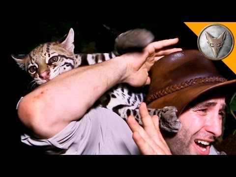 Guy Gets Playfully Attacked by Wild Ocelot