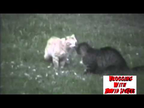 Best Cat Fight Ever !! 😮Commentary & Vid😮  ( David spates )