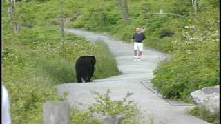 Video WLOS Bear chases man at Clingman's Dome in GSMNP MP3, 3GP, MP4, WEBM, AVI, FLV Mei 2017