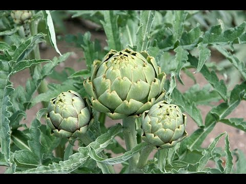 MIgardener | Simple Organic Gardening & Sustainable Living<br />\n<br />\nPublished on Aug 29, 2016<br />\nIn this episode we will be talking how to grow artichokes. Artichokes can be tricky, but with the help of this growing guide you can have success even as a beginner! This is truly the most comprehensive growing guide on Artichokes in all of youtube, so I hope you enjoy, and I hope you learn something new.<br />\n<br />\nWhat we discuss: How to fertilize artichokes, how long do artichokes take to flower, how much water do artichokes need, how big do they get, and how much space do I need to give them, how many artichokes form on a single plant, what pH is ideal for growing artichokes, how much sunlight is required for growing them, are they perennial or annual, and will they survive winter conditions in cold climates.