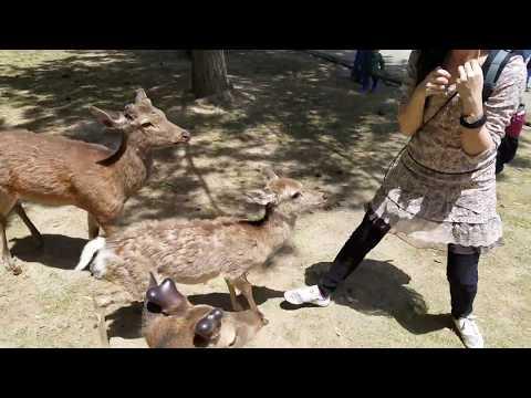 奈良鹿襲擊
