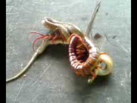 蜈蚣吃蛇! 大欺小…