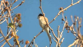 Video 1.5.15 Pie-grièche masquée (Lanius nubicus, Masked Shrike) MP3, 3GP, MP4, WEBM, AVI, FLV Agustus 2018