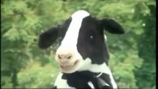Quảng cáo hài Vinamilk con bò cười