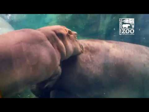 Baby Hippo Fiona Shows Off Her Impressive Swimming
