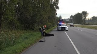 Coquitlam (BC) Canada  City new picture : Bear Struck & Killed by Vehicle Lougheed Hwy Coquitlam BC Canada