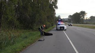 Coquitlam (BC) Canada  city photos : Bear Struck & Killed by Vehicle Lougheed Hwy Coquitlam BC Canada
