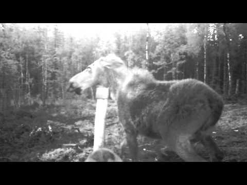 Briedė stoja tarp dviejų vilkų ir savo jauniklio
