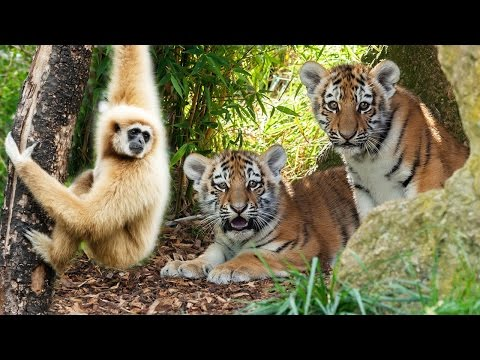 Video शेर और बंदर की मस्ती | Tiger and Monkey Playing Together | Ranthambore National Park download in MP3, 3GP, MP4, WEBM, AVI, FLV January 2017