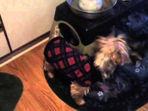 morning madhouse - Every morning our Yorkie likes to tackle our cat, while our Maltese barks at them for roughhousing. It's a madhouse while I'm trying to get out the door for ...