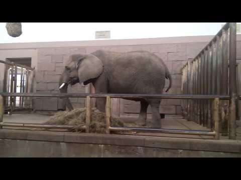Afrikanische Elefanten - Tierpark Berlin - September  ...