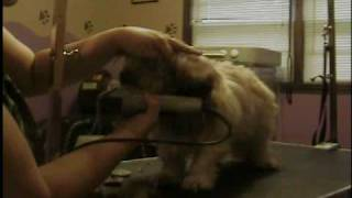 Shih Tzu Groom (short Pet Trim) Part 1