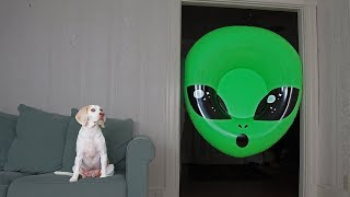 Dog Unimpressed by Giant Alien Head: Funny Dogs Maymo & Potpie by Maymo