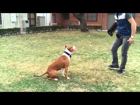 Vendita cuccioli amstaff