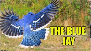 10 Blue Jay Facts