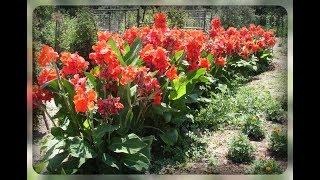Почему не цветут канны??  Секреты выращивания