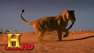 Nonton The BEST Hunters ˘˘LIONS˘˘ -new WILDLIFE documentary 2016 HD Film Subtitle Indonesia Streaming Movie Download