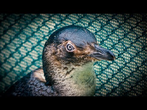 YouTube placeholder image shows a little blue penguin.