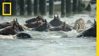 Chincoteague Island (VA) United States  city photo : Watch Famous Ponies Swim in Chincoteague Island Tradition | National Geographic