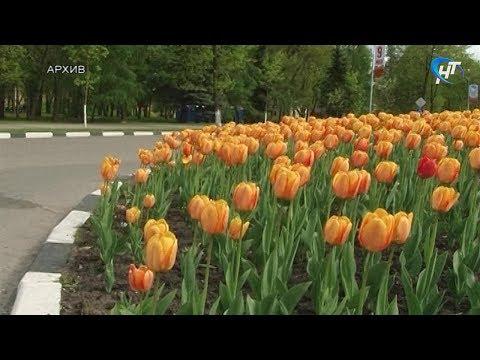 Мэрия планирует высадить тюльпаны до наступления устойчивых морозов