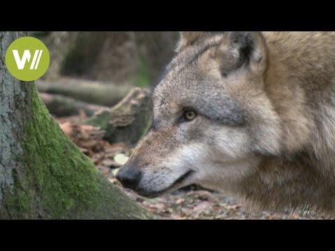 Wölfe in den Wäldern Norddeutschlands (Wolfcenter Niede ...