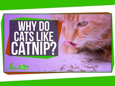 SciShowHostOlivia Gordon Explains Why Cats Love Catnip so Much