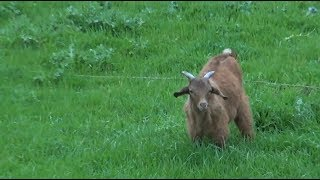 Jim from Cocoa Beach, FL recently had seven goats stolen from his property and wants to find out if there's a way he can track them, so he called The Kim Komando Show for some answers.