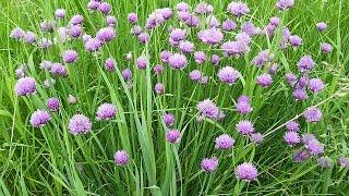 Лук шнитт – выращивание из семян