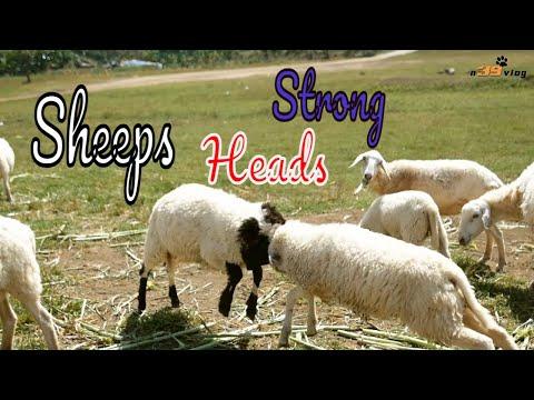 Con Cừu - Live Dictionary