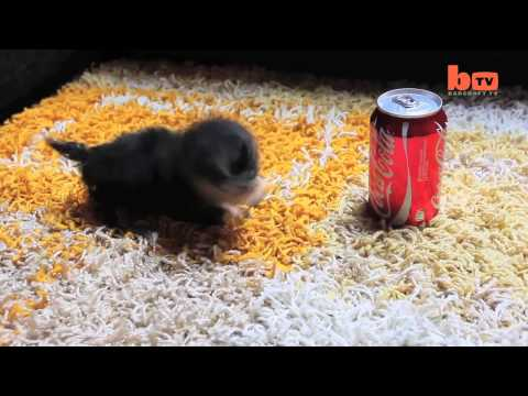 il cane più piccolo al mondo! unico!
