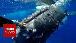 Video Whale 'saves' biologist from shark - BBC News MP3, 3GP, MP4, WEBM, AVI, FLV Januari 2018