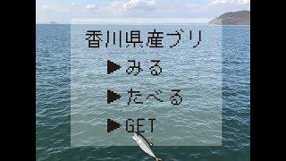 香川県産ブリ