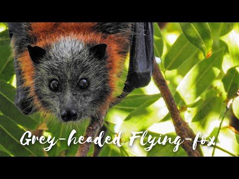 Back from the Brink - Season 2 Episode 2 - Grey-headed Flying-fox
