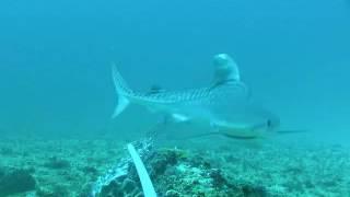 Тигровые акулы