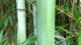 Camden (AL) United States  city photos : Bamboo Groves . Camden, Alabama