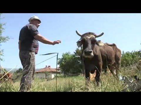 Βουλγαρία-Σερβία: Αγελάδα πέρασε «παράνομα» τα σύνορα