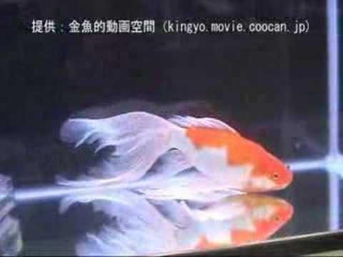 [庄内金魚(山形金魚)]2006年度 第24回日本観賞魚フェア その他親魚の部 優勝魚:草刈 恒彦氏持魚