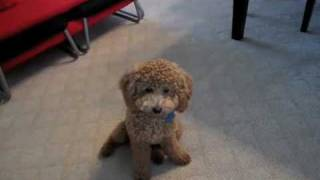 Cute Brown Poodle Puppy BB Doing Cool Tricks