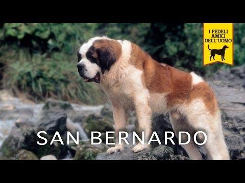 il cane san bernardo - trailer documentario