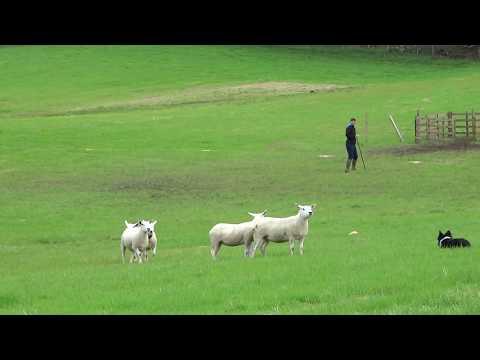 כלבי רועים מיומנים בצילום בסקוטלנד