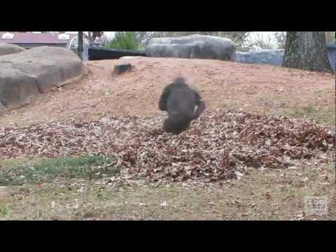 Gorilla leker lite bland löven