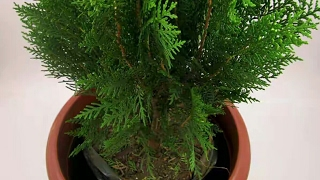 Download Lagu How to grow Thuja / Morpankhi plant in home & benefits of Tuja plant Mp3