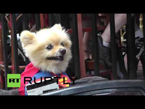 USA: This super-cute dog dressed as Superman will melt your heart