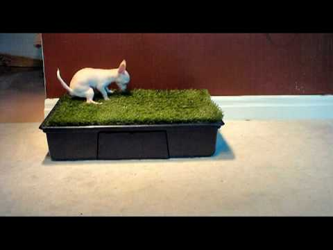 10 Week Old Chihuahua Puppy Using a Potty Park!