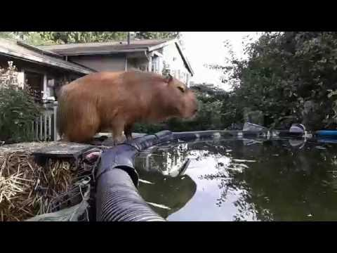 Diving Capybara Has Perfect Form