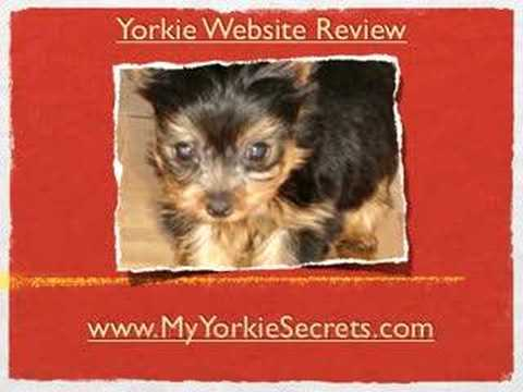 Yorkie hair cuts — All about Yorkie Grooming Styles