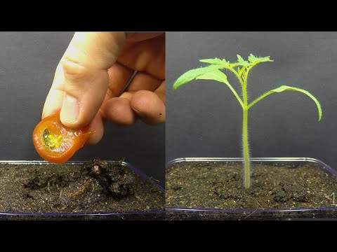 Growing Tomato Plant From Tomato Slice Time Lapse