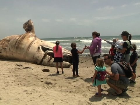 Dead Whale Draws Crowds In California